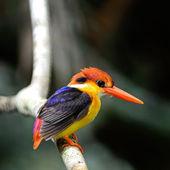 Black-backed Kingfisher — Stock Photo