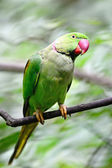 Male Alexandrine Parakeet — Stock Photo