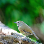 White-gorgeted Flycatcher — Photo