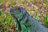 Female Green Iguana — Stock Photo