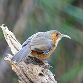 Rusty-cheeked Scimitar-babbler — Стоковое фото