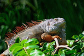 Iguane vert male — Photo