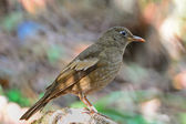 Juvenile male Grey-winged Blackbird — Foto Stock