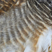 Asian Barred Owlet feathers — Стоковое фото