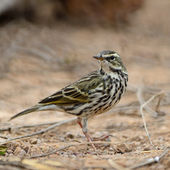 Rosy Pipit — Stock Photo