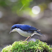 Male Siberian Blue Robin — Foto de Stock