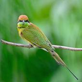 Little Green Bee-eater — Stock Photo