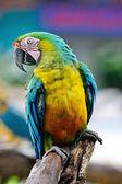 Harlequin Macaw — Stockfoto