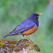 Male Black-breasted Thrush — Stock Photo