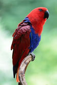 Eclectus papegoja — Stockfoto