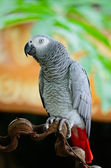African Grey Parrot — Stock Photo
