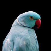 Blue Ring-necked Parakeet — Stock Photo
