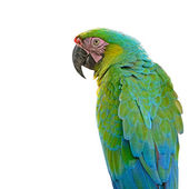 Harlequin Macaw isolated — Stock Photo