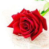 Red rose — Foto Stock
