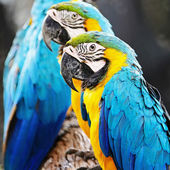 Blue and Gold Macaw — Stock Photo