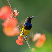 Male Olive-backed Sunbird — Stock Photo