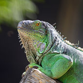 Female Green Iguana — Foto Stock