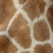 Giraff hud — Stockfoto