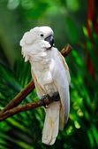 Moluccan Cockatoo — Stock Photo