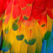 Scarlet Macaw feathers — Foto Stock
