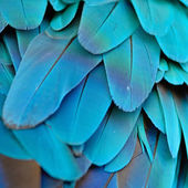 Blue and Gold Macaw feathers — Stock Photo