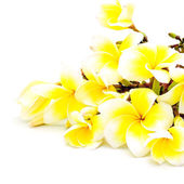 Yellow Plumeria — Stock Photo