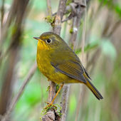 Female Golden Bush Robin — Stock Photo