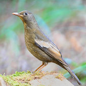 Juvenile male Black-breasted Thrush — 图库照片