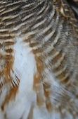 Asian Barred Owlet feathers — Stock Photo