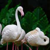 Greater Flamingo — 图库照片
