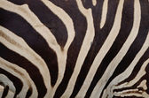 Common Zebra — Stock Photo
