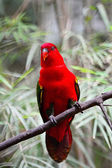 Chattering Lory — Stock Photo