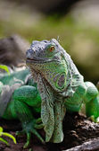 Female Green Iguana — Foto de Stock