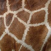 Pele de girafa — Foto Stock