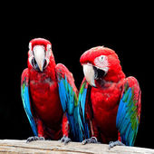 Greenwinged Macaw — Stock Photo