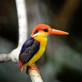 Kara sırtlı kingfisher — Stok fotoğraf