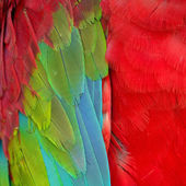 Greenwinged Macaw feathers — Stock Photo