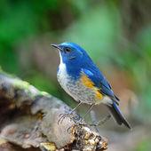 Manliga himalayan bluetail — Stockfoto