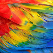Scarlet Macaw feathers — Photo
