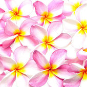 Pink Plumeria — Stock Photo