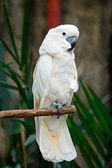 Moluckerna kakadua — Stockfoto