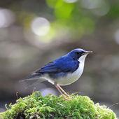 Male Siberian Blue Robin — Stockfoto