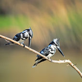 Pied kingfisher — Foto de Stock