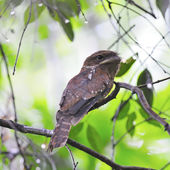 Gould Frogmouth — Stock Photo