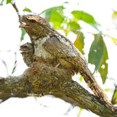 Hodgson Frogmouth — Stock Photo