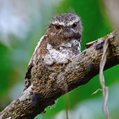 Male Hodgson Frogmouth — Photo