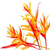 Heliconia Rubra — Stock Photo