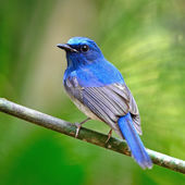 Male Hainan Blue Flycatcher — Stock Photo