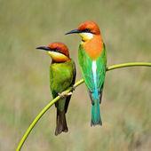 Chestnut-headed Bee-eater — Stock Photo