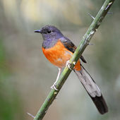 Juvenile male White-rumped Shama — Стоковое фото